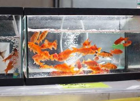 goldfish-fish-tank