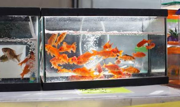 goldfish-fish-tank