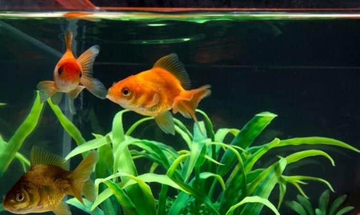 goldfish-fish-tanks
