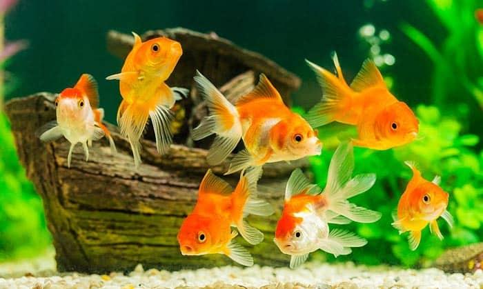 filter-for-goldfish-01